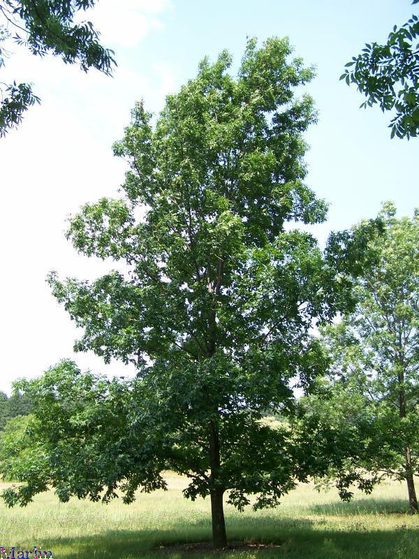 Bitternut Hickory - Carya cordiformis
