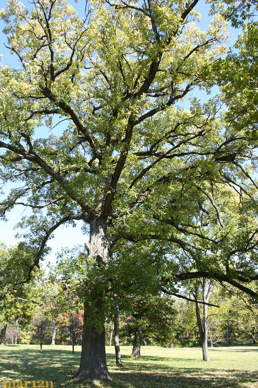 200-year-old bur oak