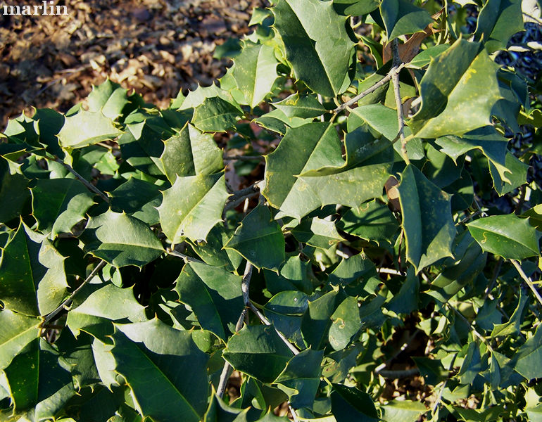 Carnival American Holly Foliage