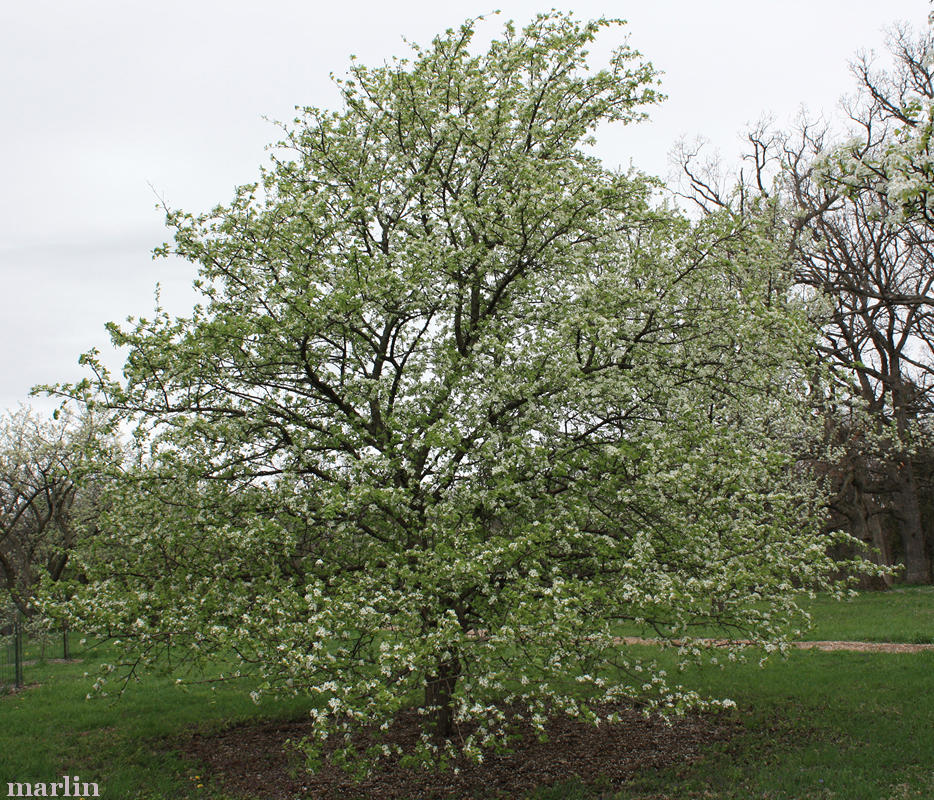Common Pear Tree
