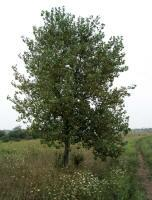 Eastern Cottonwood Tree