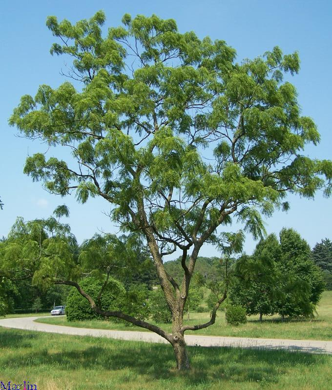 Cutleaf Black Walnut