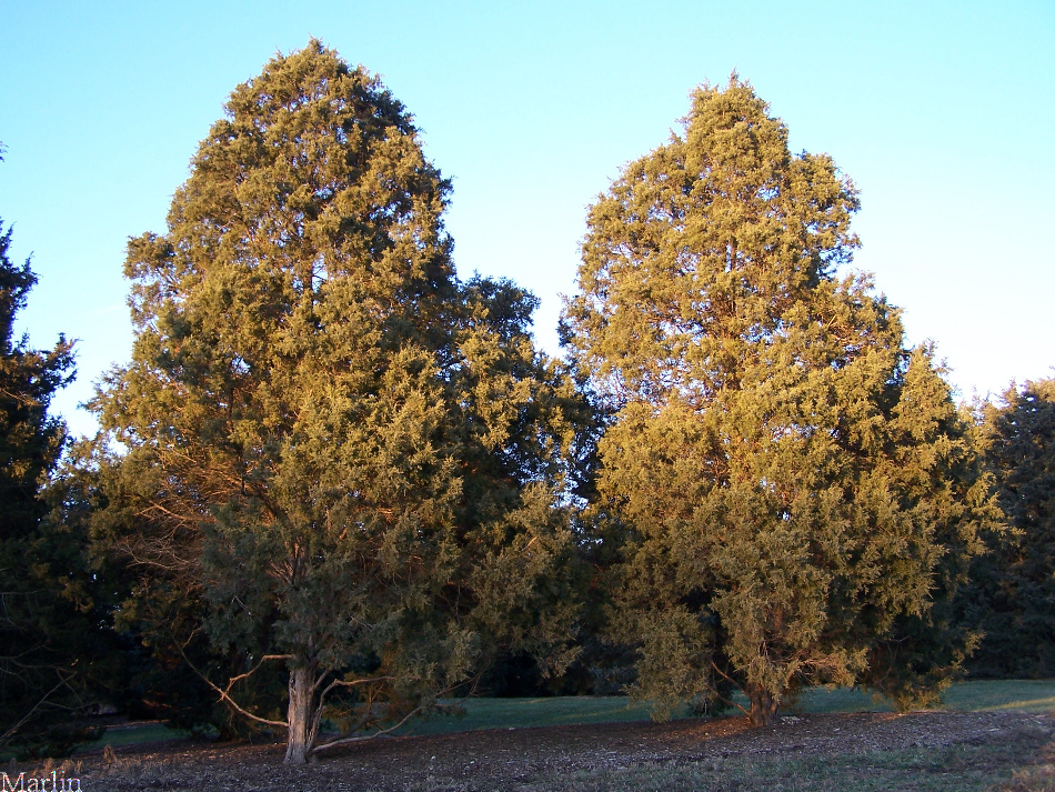 Eastern Red Cedar ~ Red cedar juniperus virginiana
