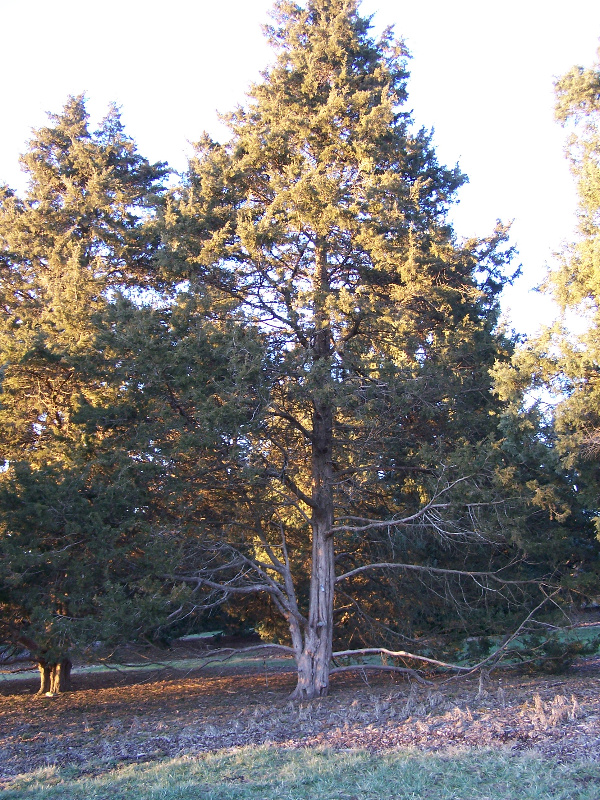 Eastern Cedar Tree ~ Red cedar juniperus virginiana