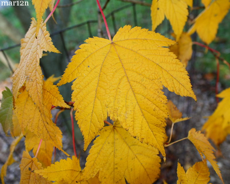 Deep-Veined Maple Foliage