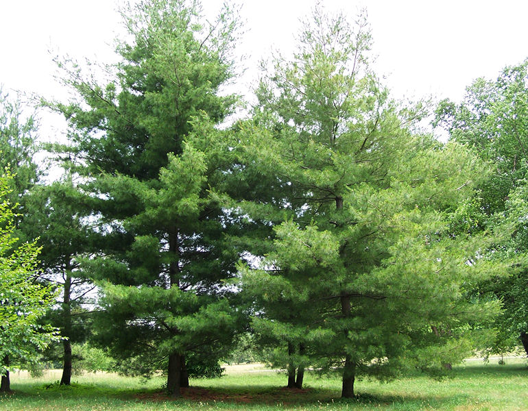 Mature white pine tree