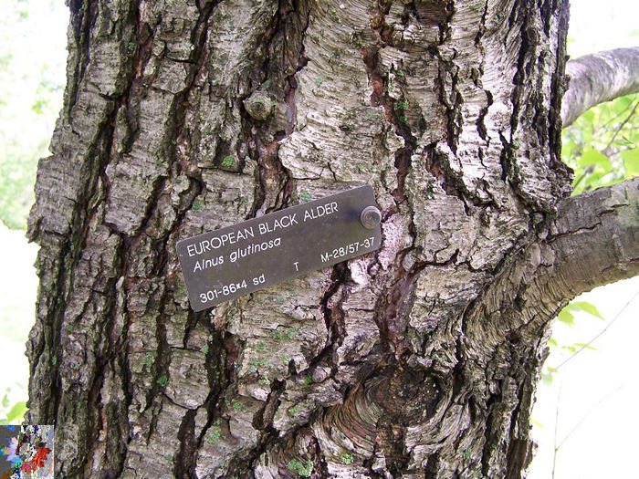 European Black Alder bark