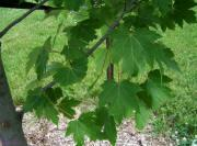 Freeman's Maple