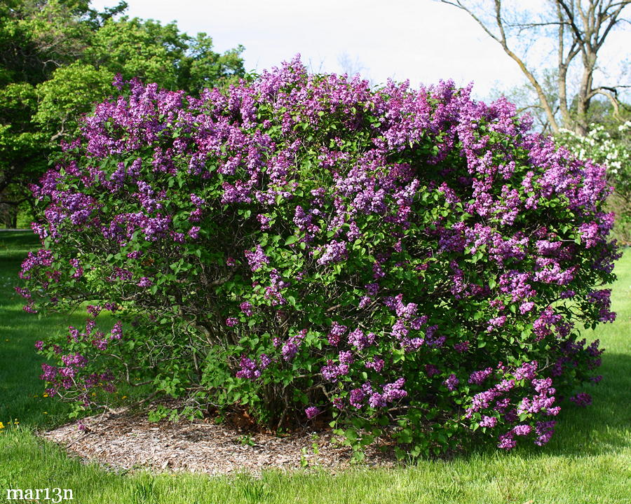 fuerst buelow common lilac syringa vulgaris 39 fuerst beulow 39. Black Bedroom Furniture Sets. Home Design Ideas