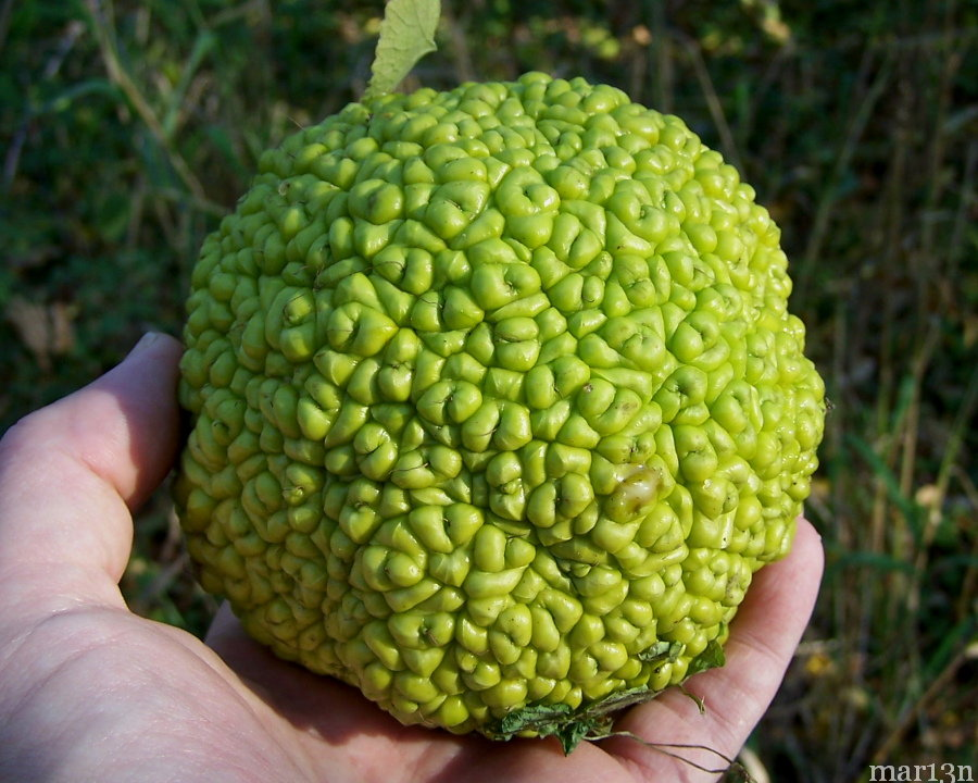 Osage Orange Hedgeapple
