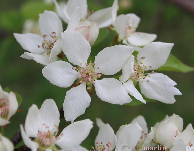Himalayan Pear Blossoms