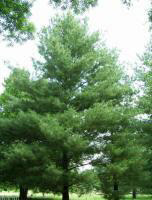 Himalayan White Pine Tree