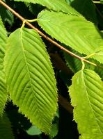 Hornbeam Maple foliage