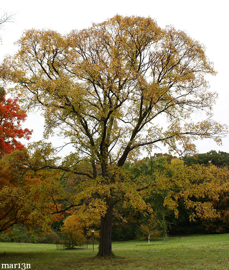 Japanese Elm in fall colors