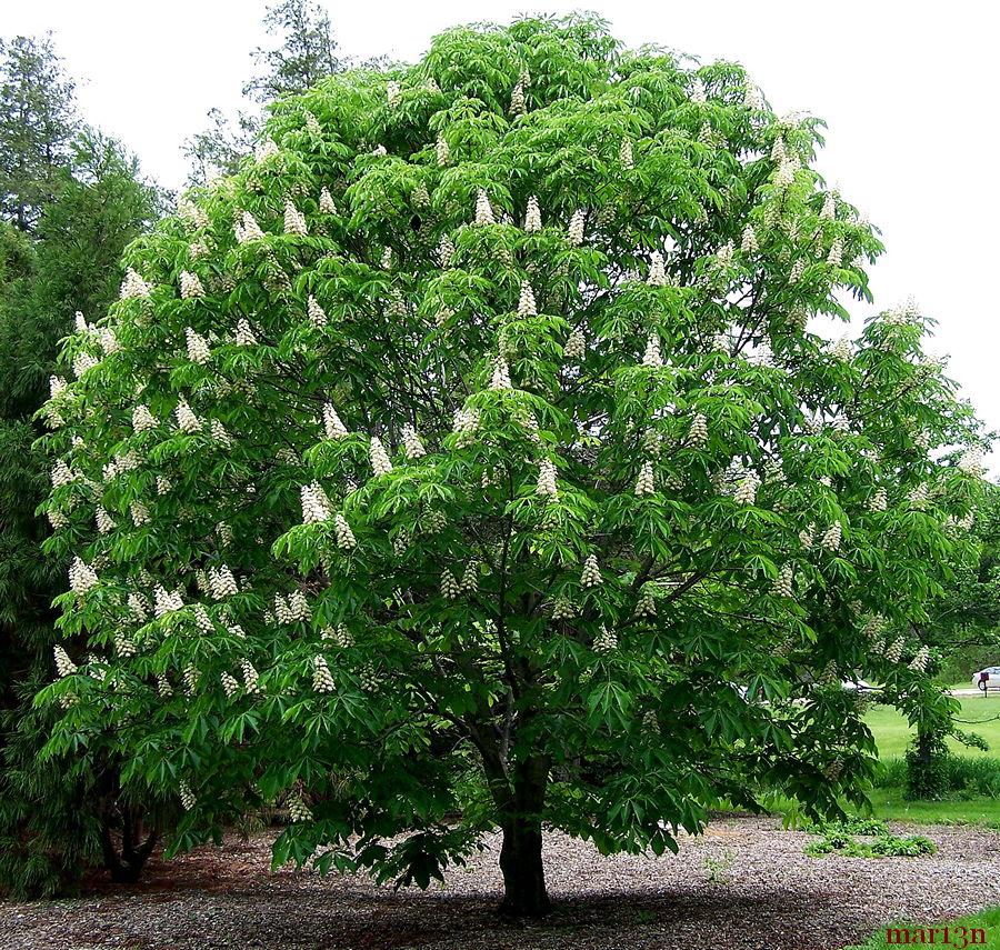 Family hippocastanaceae horse chestnuts buckeyes for The chestnut