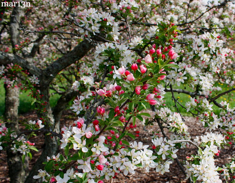 Jewelberry Crabapple
