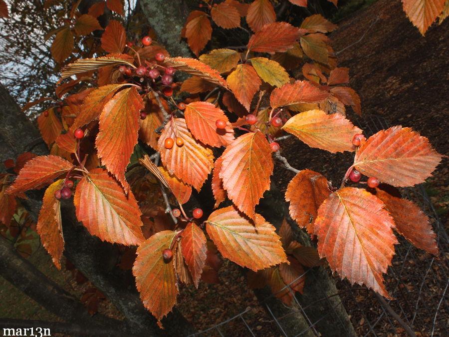 Korean Mountain Ash Sorbus Alnifolia North American