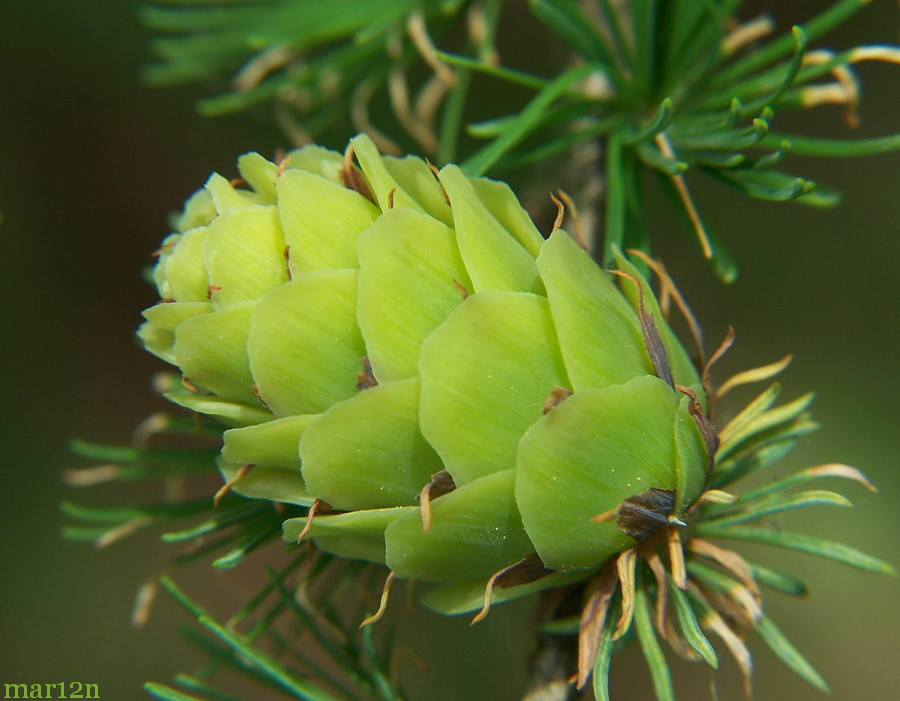 green (immature) larch cone