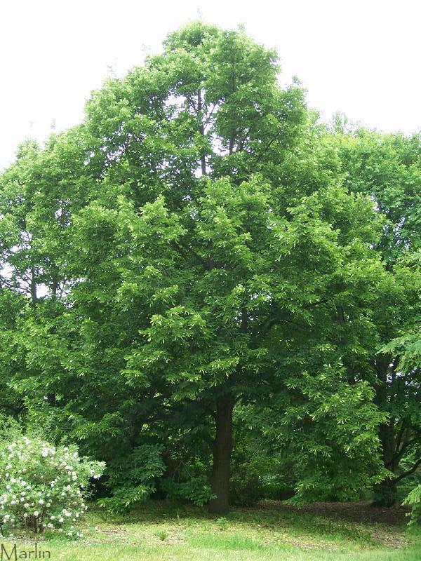 Redmond Linden - Tilia x euchlora
