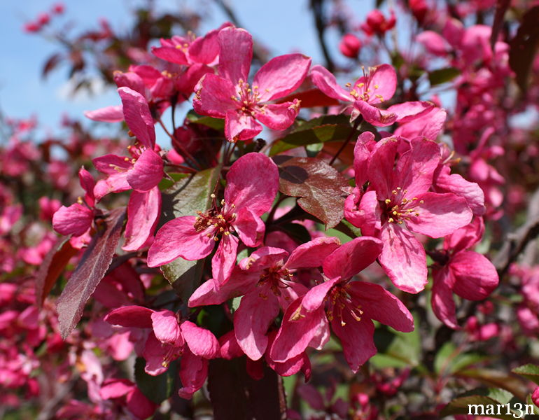 Liset crabapple blossoms