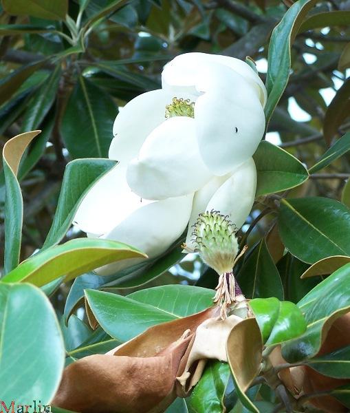 southern magnolia tree flower. Whitebark Magnolia