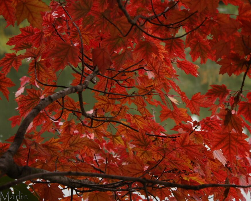 Autumn Flame Red Maple Autumn Colors