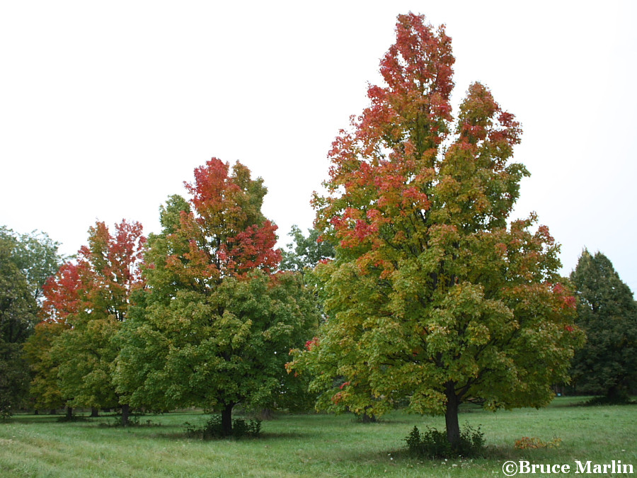 Bowhall Red Maples