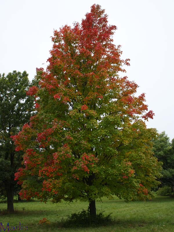 Bowhall Red Maple
