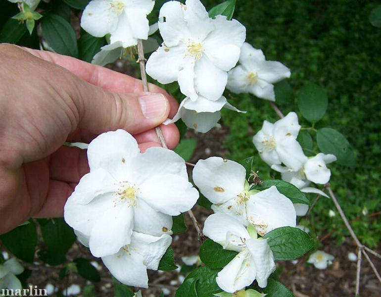 mock orange flowers