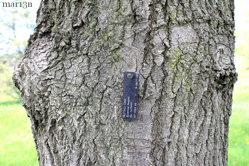 Nutall Oak - Quercus nuttallii - North American Insects ...