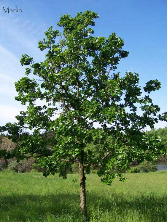 Quercus Macrocarpa Acorn