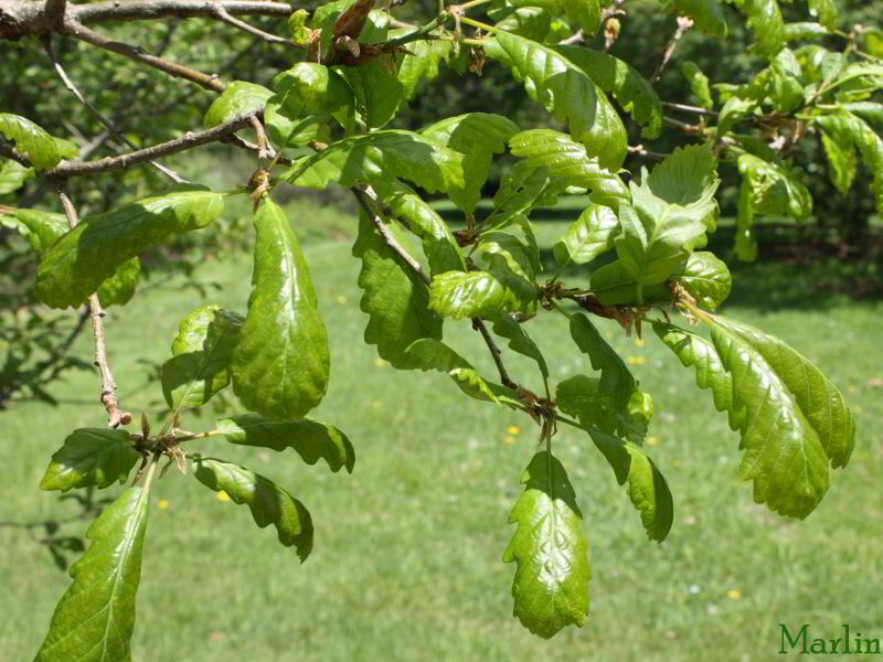 Durmast Oak Foliage