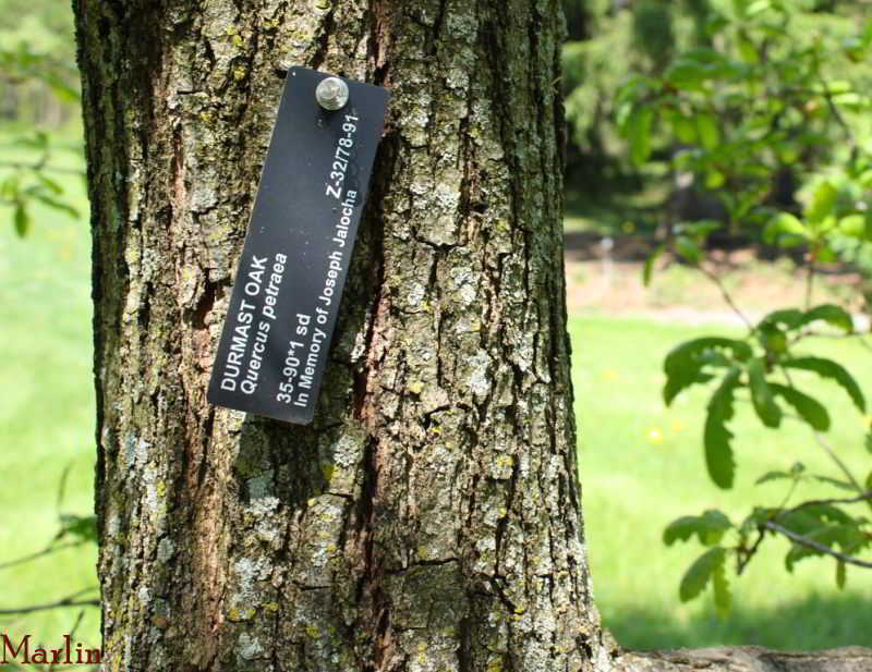 Durmast Oak Bark