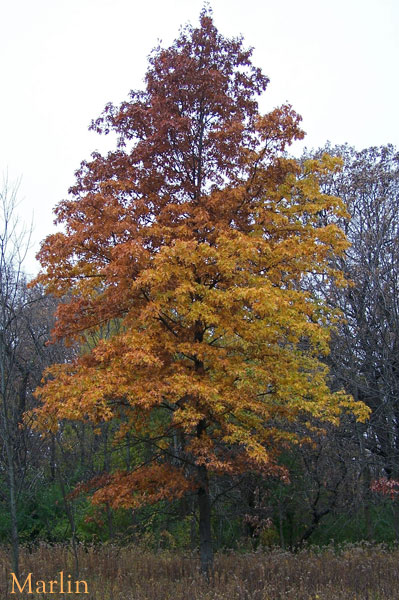Pin Oak - Quercus palustris - North American Insects & Spiders