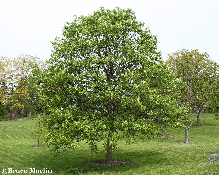 Swamp white oak  The Morton Arboretum