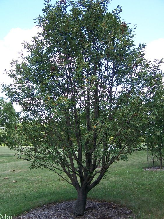 Oakleaf Mountain-Ash Tree