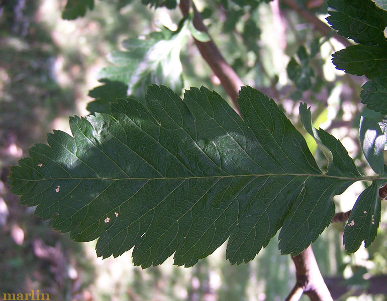Oakleaf Mountain-Ash Leaflet