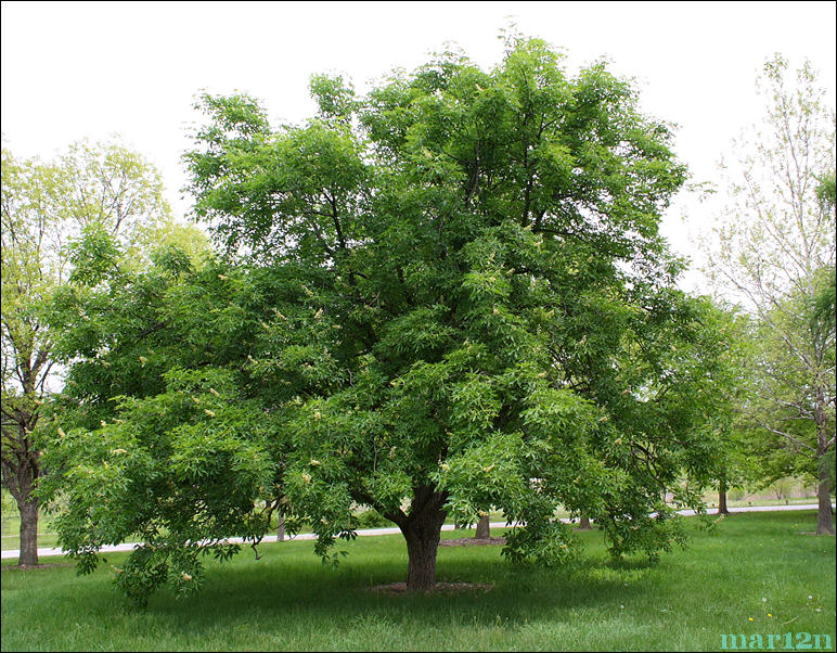 87-year-old Ohio Buckeye Tree
