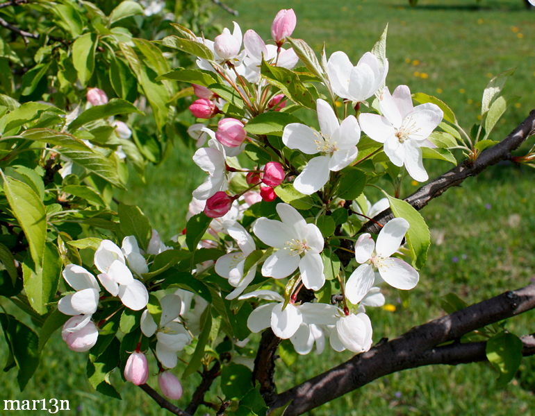 Ormiston Roy Crabapple blossoms and foliage