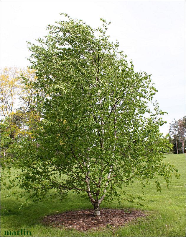 Landscaping With Paper Birch Trees : Paper birch betula papyrifera