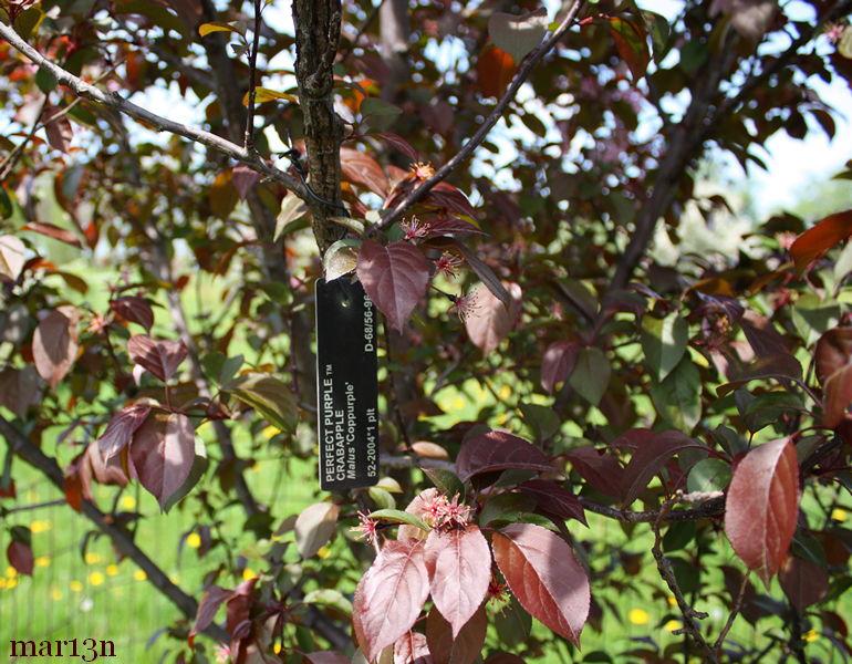 Perfect Purple Crabapple Malus Coppurple North