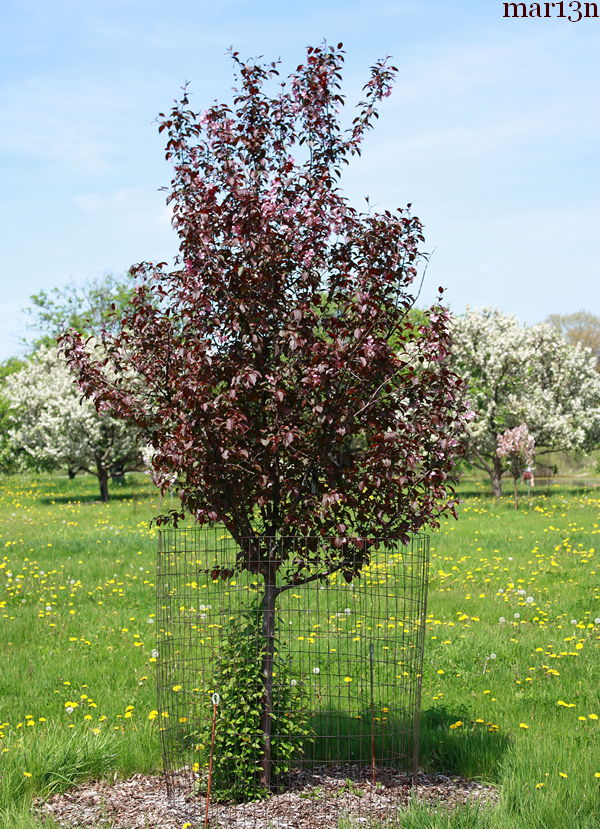 Perfect Purple Crabapple