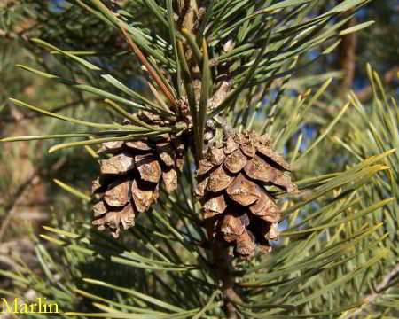 Scots Pine Cones and Foliage