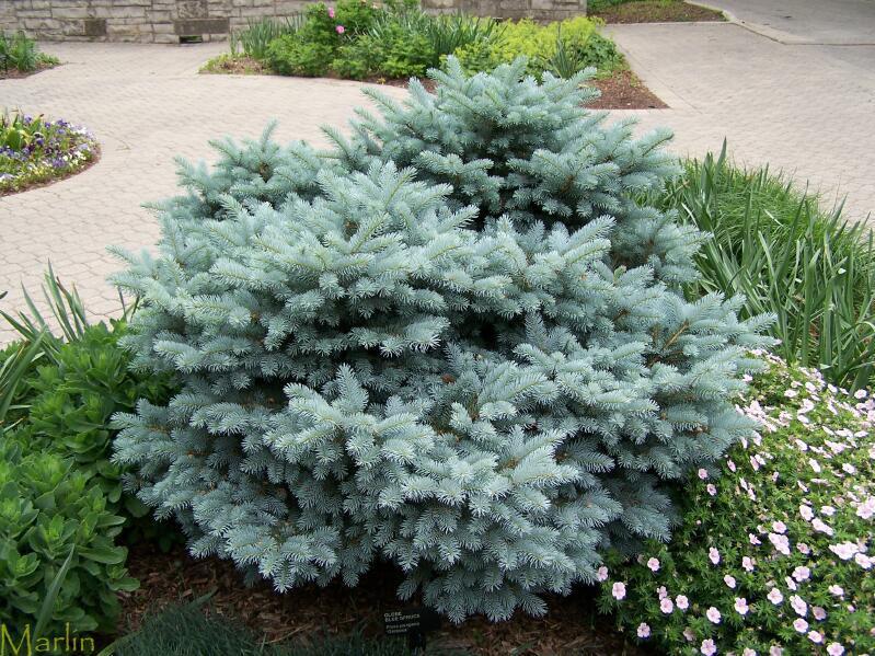 Globe Blue Spruce Picea Pungens Globosa North