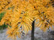 Golden Larch - Pseudolarix amabilis