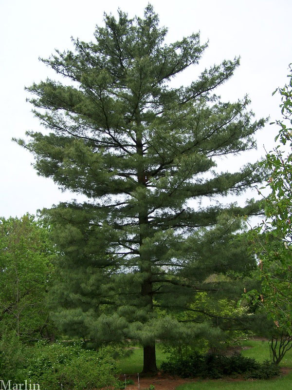 Gallery For > Pictures Of White Pine Trees