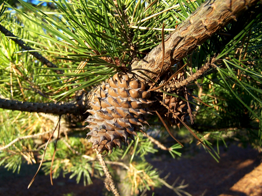 Table Mountain Pine cones