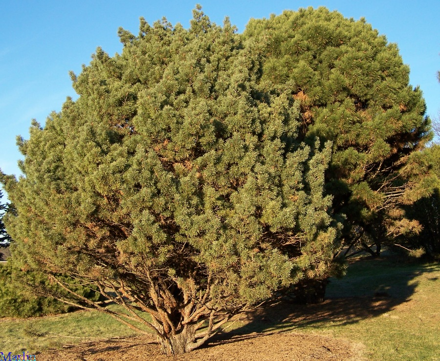 Waterer Scots Pine - Pinus sylvestris 'watereri'