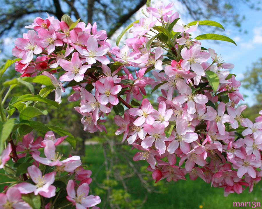 Pink Satin Crabapple Malus Pink Satin