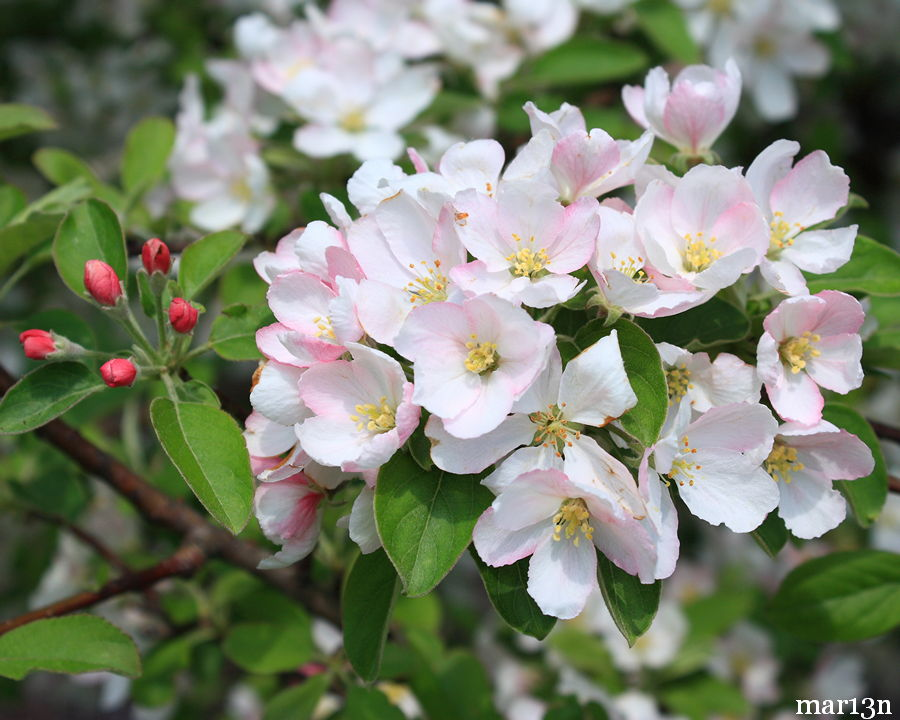Plum-leaved Crabapple blossoms